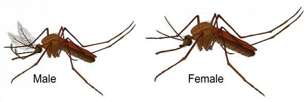Những sự thật thú vị về loài muỗi có thể bạn chưa biết.