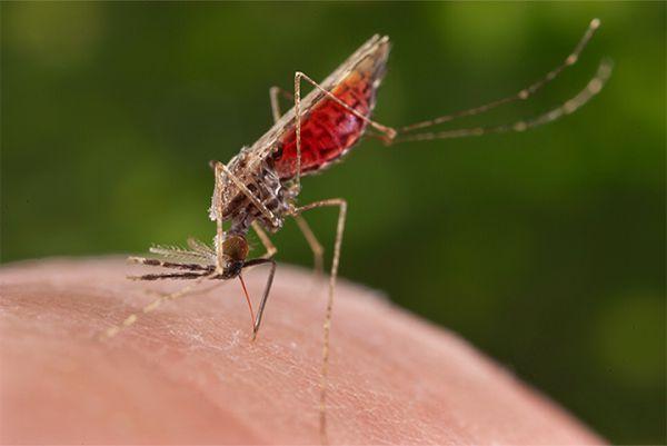 Muỗi Aedes là vật chủ trung gian nguy hiểm nhất để lây truyền dịch bệnh Virus Zika